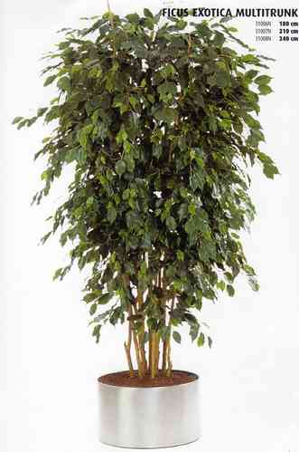 Ficus Exotica Multi Trunk