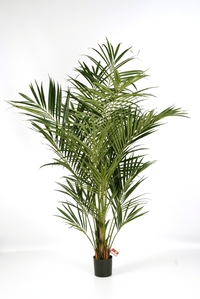 Kentia Palme Natural-Deluxe - 225 cm