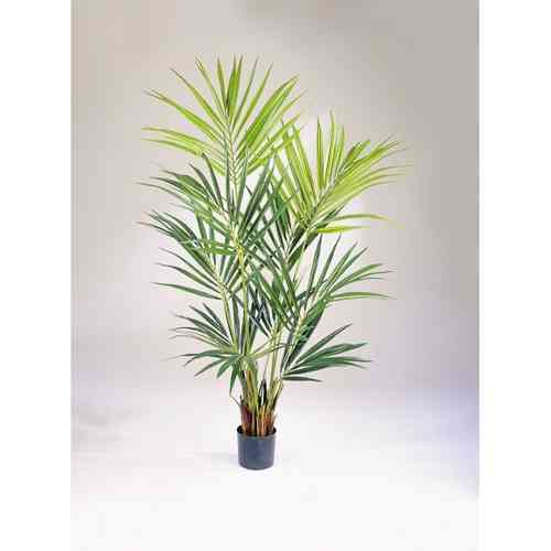 Kentia Palme Natural - 2,00 cm